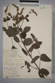 Mentha spicata x suaveolens = M. x villosa herbarium specimen from Broadmoor, VC17 Surrey in 1929 by S A Chambers.