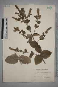 Mentha spicata x suaveolens = M. x villosa herbarium specimen from Flanchford Mill, VC17 Surrey in 1935 by Mr Edward Charles Wallace.