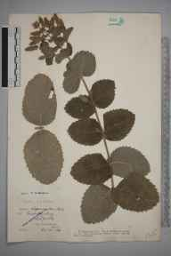 Mentha spicata x suaveolens = M. x villosa herbarium specimen from East Harling, VC28 West Norfolk in 1913 by Rev. Edward Francis Linton.