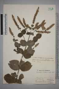 Mentha spicata x suaveolens = M. x villosa herbarium specimen from Reigate,Flashford Mill, VC17 Surrey in 1932 by Mr Job Edward Lousley.