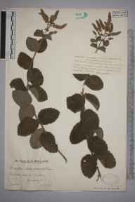 Mentha spicata x suaveolens = M. x villosa herbarium specimen from Morden, VC17 Surrey in 1929 by Mr Edward Charles Wallace.