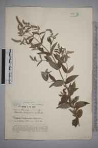 Mentha longifolia herbarium specimen from Bullswater Common, VC17 Surrey in 1938 by Lady Joanna Charlotte Davy.