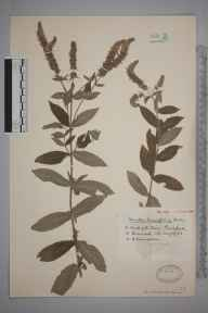 Mentha longifolia herbarium specimen from Pensford, VC6 North Somerset in 1933 by Mr Harold Stuart Thompson.