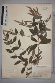 Mentha longifolia herbarium specimen from Little Chesterford, VC19 North Essex in 1933 by Mr Job Edward Lousley.