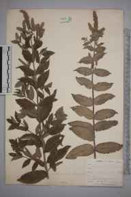 Mentha longifolia herbarium specimen from Bissoe, VC1 West Cornwall in 1900 by Mr Frederick Hamilton Davey.