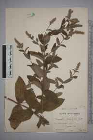 Mentha longifolia herbarium specimen from Sidmouth, VC3 South Devon in 1942 by Mr Edward Charles Wallace.