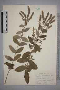 Mentha longifolia herbarium specimen from Amberley, VC13 West Sussex in 1953 by Mr Edward Charles Wallace.