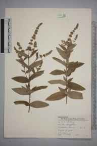 Mentha longifolia herbarium specimen from Wimbledon Common, VC17 Surrey in 1945 by Charles Avery.