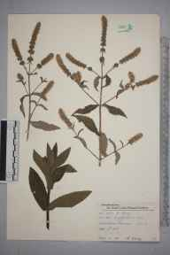 Mentha longifolia herbarium specimen from Wimbledon Common, VC17 Surrey in 1955 by Charles Avery.
