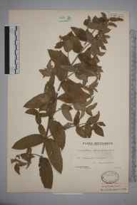 Mentha longifolia herbarium specimen from Saint Columb Minor, VC1 West Cornwall in 1935 by Mr Arthur Langford Still.