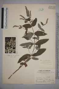 Mentha longifolia herbarium specimen from Little Chesterford, VC19 North Essex in 1933 by Arthur William Graveson.