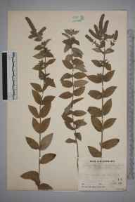 Mentha longifolia herbarium specimen from Farningham, VC16 West Kent in 1934 by Mr Job Edward Lousley.