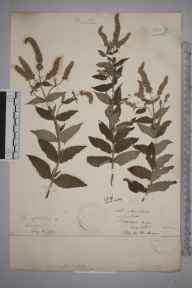Mentha longifolia herbarium specimen from Hereford, VC36 Herefordshire in 1870.