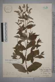 Mentha longifolia herbarium specimen from Pandy, VC35 Monmouthshire in 1932 by Stafford Edwin Chandler.