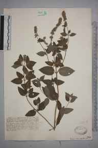 Mentha longifolia herbarium specimen from Sowden's Bridge, VC2 East Cornwall in 1926 by Mr Francis Rilstone.