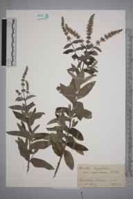 Mentha longifolia herbarium specimen from Wimbledon Common, VC17 Surrey in 1943 by Charles Avery.