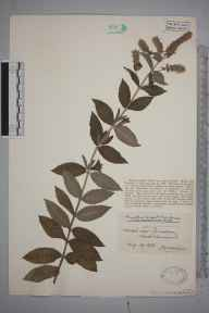 Mentha longifolia herbarium specimen from Clevedon, VC6 North Somerset in 1926 by Mr James Walter White.