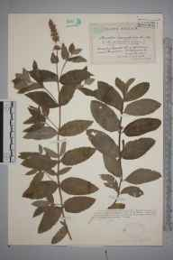 Mentha longifolia herbarium specimen from Clevedon, VC6 North Somerset in 1927 by Mr James Walter White.