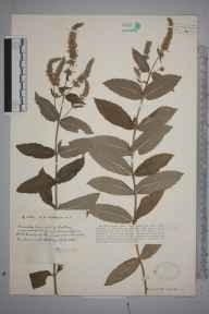 Mentha longifolia herbarium specimen from Pensford, VC6 North Somerset in 1931 by Mr Harold Stuart Thompson.