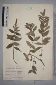 Mentha longifolia herbarium specimen from Hook, VC12 North Hampshire in 1933 by Mr Edward Charles Wallace.