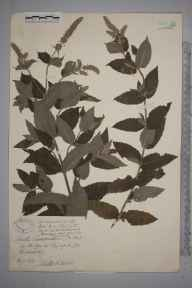 Mentha longifolia var. nicholsoniana herbarium specimen from Whitney, VC36 Herefordshire in 1890 by Mr Walter Waters Reeves.
