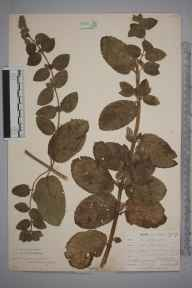 Mentha aquatica x spicata = M. x piperita herbarium specimen from Crantock, VC1 West Cornwall in 1901 by Mr Allan Octavian Hume.