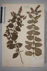 Mentha aquatica x spicata = M. x piperita herbarium specimen from Newquay, VC1 West Cornwall in 1900.