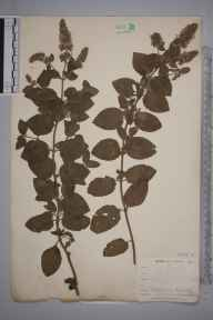 Mentha aquatica x spicata = M. x piperita herbarium specimen from Newquay, VC1 West Cornwall in 1900 by Dr Chambre Corker Vigurs.