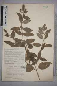 Mentha aquatica x spicata = M. x piperita herbarium specimen from Weston in Gordano, VC6 North Somerset in 1923 by Mr James Walter White.