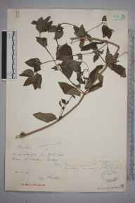 Mentha aquatica x spicata = M. x piperita herbarium specimen from Sowden's Bridge, VC2 East Cornwall in 1926 by Mr Francis Rilstone.