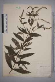 Mentha spicata herbarium specimen from Norwood, VC17 Surrey in 1899 by Mr Allan Octavian Hume.