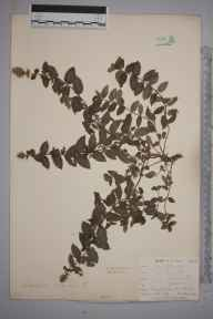 Mentha spicata herbarium specimen from Par Sands, VC2 East Cornwall in 1899 by Mr Allan Octavian Hume.