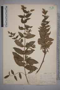 Mentha spicata herbarium specimen from Ponsanooth, VC1 West Cornwall in 1899 by Mr Frederick Hamilton Davey.