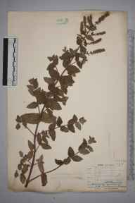 Mentha spicata herbarium specimen from Hick's Mill, Gwennap, VC1 West Cornwall in 1907 by Mr Frederick Hamilton Davey.