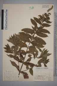 Mentha spicata herbarium specimen from Bissoe, VC1 West Cornwall in 1936 by Mr Job Edward Lousley.