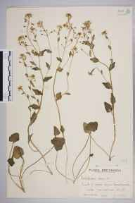 Cochlearia danica herbarium specimen from Haverthwaite, VC69 Westmorland in 1942 by Mr Edward Charles Wallace.