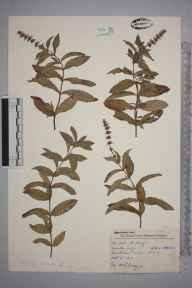 Mentha spicata herbarium specimen from Wimbledon Common, VC17 Surrey in 1957 by Charles Avery.