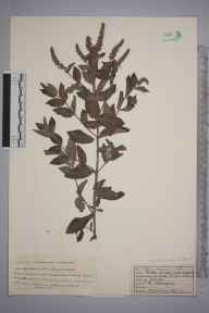 Mentha spicata herbarium specimen from Sheringham, VC27 East Norfolk in 1922 by W G Archer.