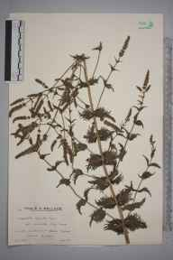 Mentha spicata herbarium specimen from Wallington, Ambiguous locality (GB) in 1935 by Mr Arthur Langford Still.
