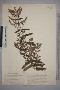 Mentha spicata herbarium specimen from Kew, VC17 Surrey in 1928 by J Fraser.