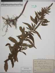 Mentha spicata herbarium specimen from Settle, VC64 Mid-west Yorkshire in 1897 by E C T.