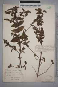 Mentha spicata herbarium specimen from Newquay, Watergate Bay, VC1 West Cornwall in 1913 by Dr Chambre Corker Vigurs.