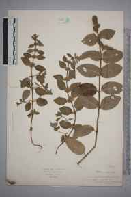 Mentha aquatica x spicata = M. x piperita herbarium specimen from Walton in Gordano, VC6 North Somerset in 1927.