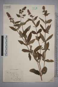 Mentha aquatica x spicata = M. x piperita herbarium specimen from Friday Street, VC17 Surrey in 1929 by S A Chambers.