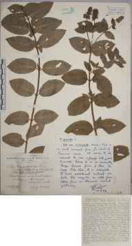 Mentha aquatica x spicata = M. x piperita herbarium specimen from Walton in Gordano, VC6 North Somerset in 1927 by Mr James Walter White.