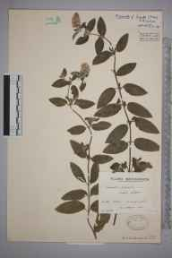 Mentha aquatica x spicata = M. x piperita herbarium specimen from Llangennith,Coity Green, VC41 Glamorganshire in 1937 by Mr Arthur Langford Still.