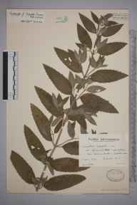 Mentha aquatica x spicata = M. x piperita herbarium specimen from Fern Den, VC90 Angus in 1937 by Mr Arthur Langford Still.