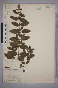 Mentha aquatica x spicata = M. x piperita herbarium specimen from Tresamble, VC1 West Cornwall in 1936 by Mr Job Edward Lousley.