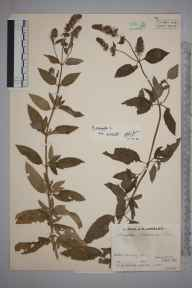 Mentha aquatica x spicata = M. x piperita herbarium specimen from Friday Street, VC17 Surrey in 1934 by Mr Job Edward Lousley.