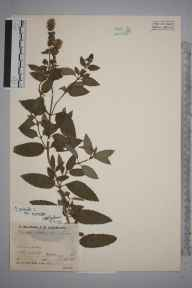 Mentha aquatica x spicata = M. x piperita herbarium specimen from Churchill, VC37 Worcestershire in 1937 by Mr Job Edward Lousley.